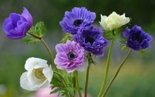 Цветок анемона посадка и уход цветы анемона фото