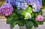 Как изменить окраску цветков у крупнолистной гортензии