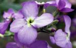 Левкой виды и сорта выращивание в открытом грунте