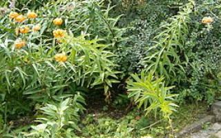 Рас о лилии генри