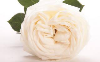 Роза высший свет high society чайногибридная