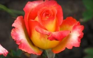 Роза утопия фото и описание