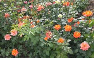 Роза как цветут