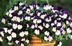 Посадка цветов виола