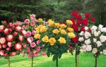 Совет 1 как сделать штамбовую розу