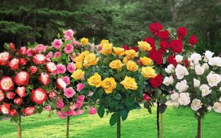 Штамбовые розы лучшие сорта и правила обрезки