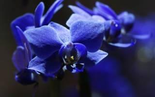 Как появились синие орхидеи