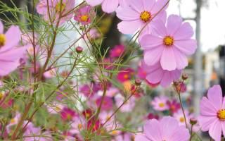 Космея махровая выращивание из семян посадка и уход фото
