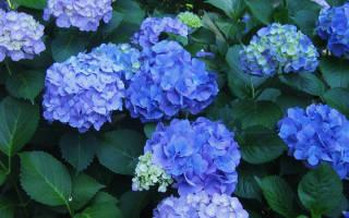 Голубая гортензия уход и выращивание в домашних условиях