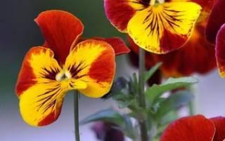 Любимые анютины глазки выращивание в саду на балконе и дома