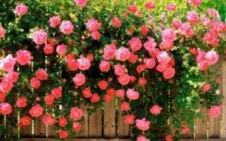 Роза с шипами фото