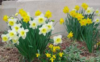 Цветы нарциссы фото