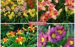 Цветымноголетники для сада фото названия и описание