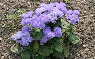 Каталог однолетних цветов названия фото краткие описания
