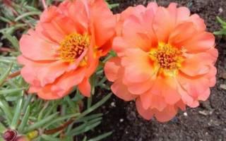 Необычное растение портулак выращивание