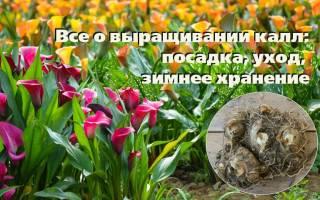 Каллы в саду и в теплице