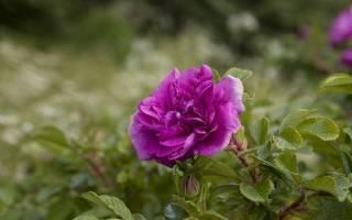 Сиреневые розы фото