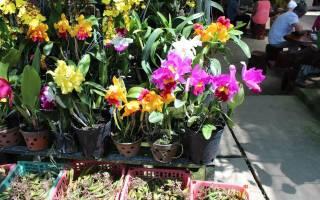 Как правильно сажать луковицы орхидей из вьетнама