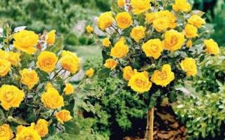 Штамбовые розы посадка и уход фото