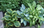 Однолетние тенелюбивые растения и цветы для сада фото и названия