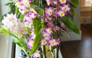 Как поливать орхидею дендробиум в домашних условиях