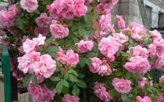 Чем обработать розы ранней осенью