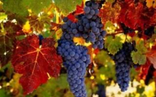 Лиана виноград описание