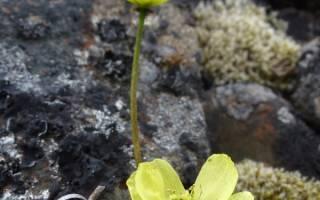Полярный или арктический мак удивительное растение