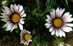 Цветы гацания описание