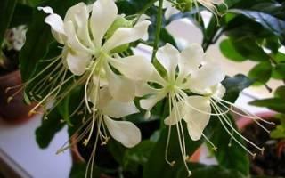 Ботаническое описание комнатного клеродендрума и его фото