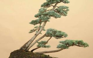 Искусство выращивания бонсай японский кедр