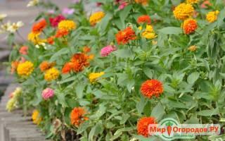 Цветы циния выращивание уход и использование