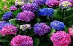 Гортензия садовая пышные бутоны все лето