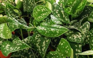 Виды комнатного растения сциндапсус фото и названия разновидностей