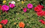 Портулак выращивание из семян советы садоводам
