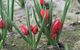 Какие особенности имеет карликовый тюльпан
