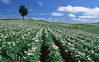 Цветение картофеля период усиленного полива