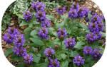 Черноголовка prunella многолетний цветок