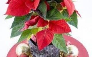 История цветка рождественская звезда
