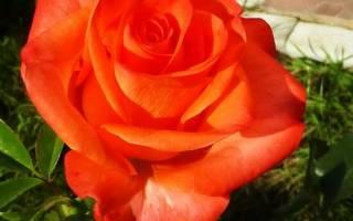 Роза вау фото и описание
