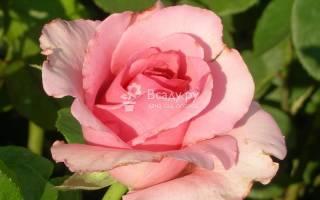 Роза чайно гибридная сорта фламинго нежно розового цвета