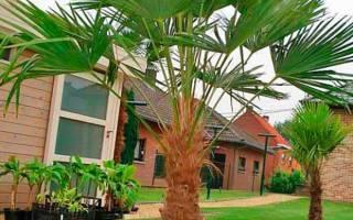 Все виды комнатных пальм
