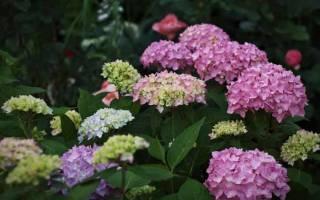 Гортензия зимой в саду