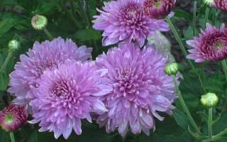 Хризантемы в саду проблемы с цветением