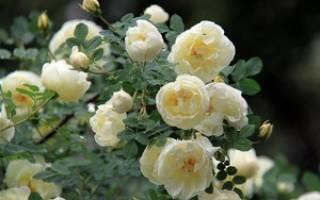 Чайная роза уход в саду