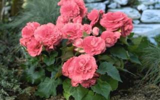 Цветы в доме и в саду клубневая бегония
