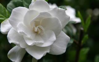 Гардения таитянская или тиаре gardenia taitensis