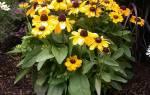 Уход за многолетними цветами осенью