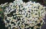 Хризантема как цветут