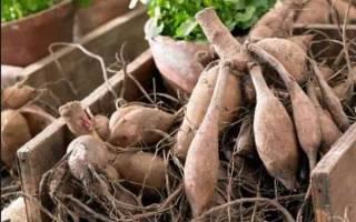 Как хранить луковицы георгинов в домашних условиях